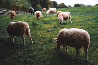Sheeps-grazing-1080x721 farm